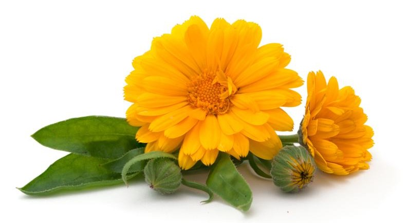 eco-seed-to-skin-care-Calendula Flower