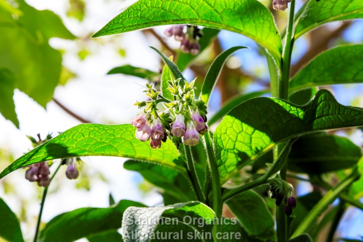 eco-seed-to-skin-care-comfrey